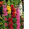50% de réduction sur le 2ème paquet du Rose trémière - Plante